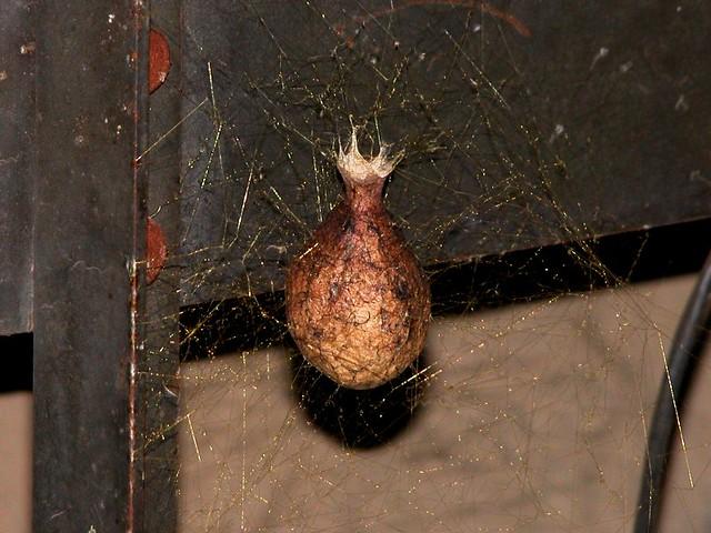 Garden spider egg sack flickr photo sharing for Garden spider egg sac