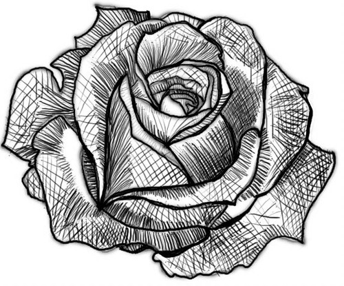 Rose Values #5 | Part of a digital rose drawing tutorial I ...