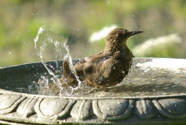 Taking a bath i can see why they call it a bird bath ha fandayou 0088