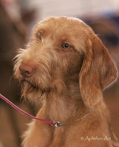Wire Haired Hungarian Vizsla | Cathy | Flickr