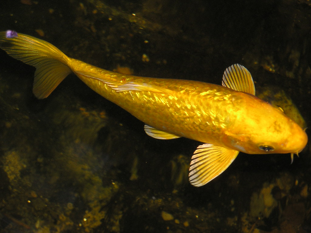 golden koi