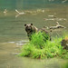 Alaskan Coastal Brown bear.....13