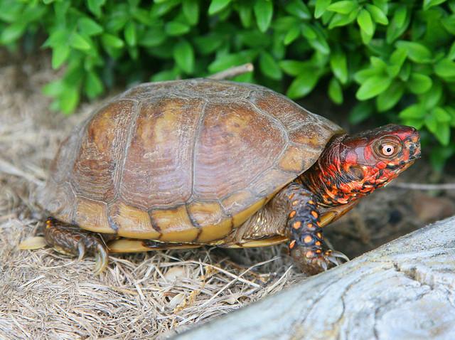 Three Toed Box Turtle Terrapene Carolina Triunguis Flickr