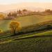 Italy - Tuscanny: Tuscan Vinyards