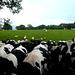 Video of Drumcovitt Cows