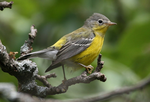 magnolia warbler fall - photo #37
