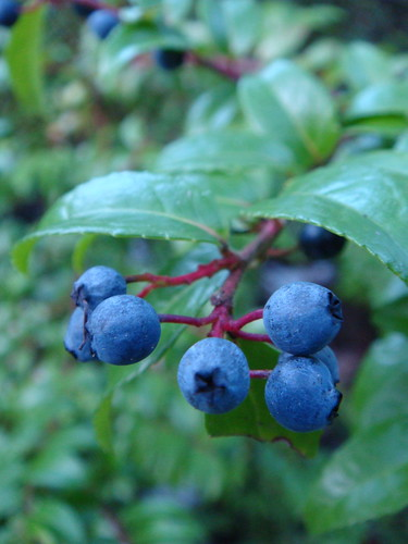 huckleberries | by downtothewiredesigns