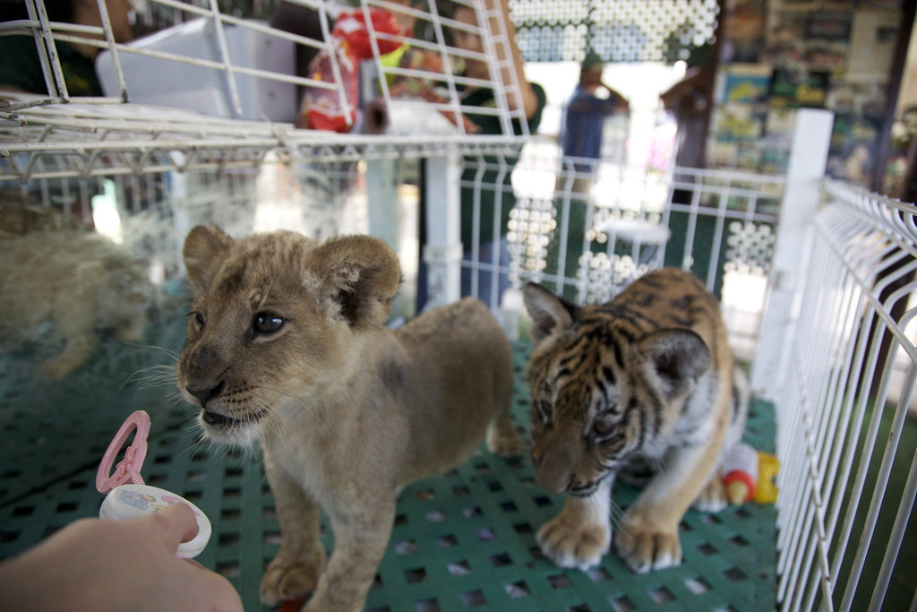 Tiger cub and Lion cub | Playing with a baby lion and ...