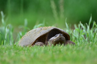 Snapping Turtle | by Go_OffStation
