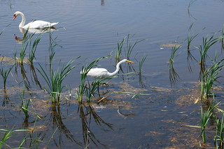 Adrea alba (Great Egret) and Cygnus olor (Mute Swan) | by fbuderman919