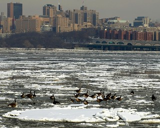 Canada Geese on frozen Hudson River | by jag9889