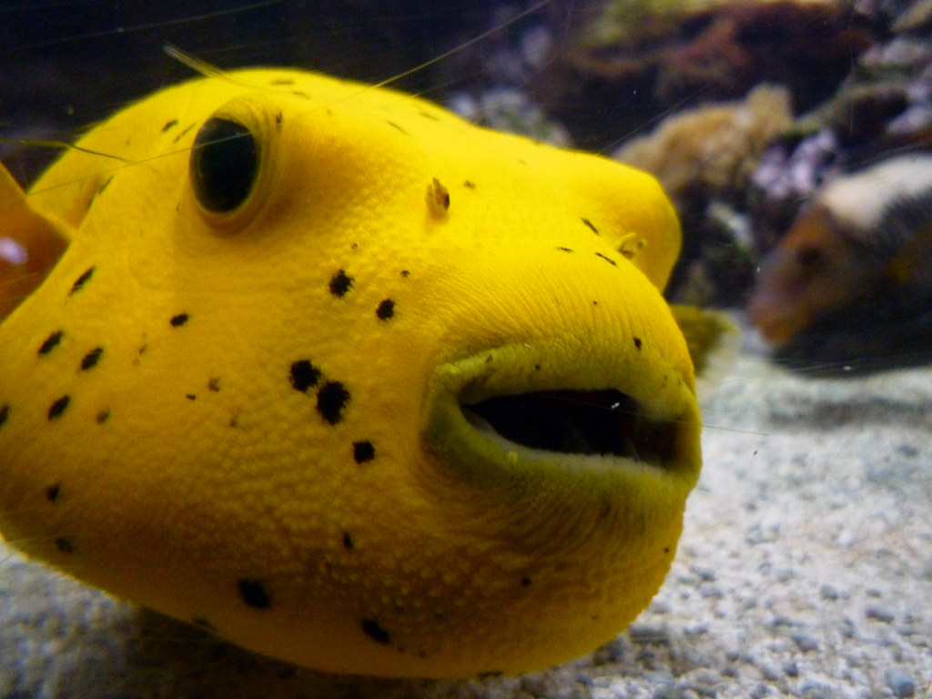 Yellow puffer fish a pretty yet odd looking specimen for Golden fish pipe