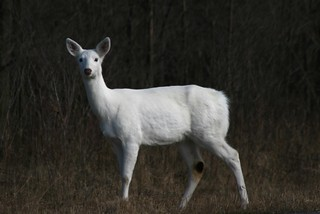 Ghost Deer of Seneca County | by La Mano de Cuervo