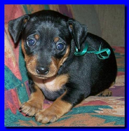 Doberman Pinscher Puppy Images Doberman Pinscher Puppy