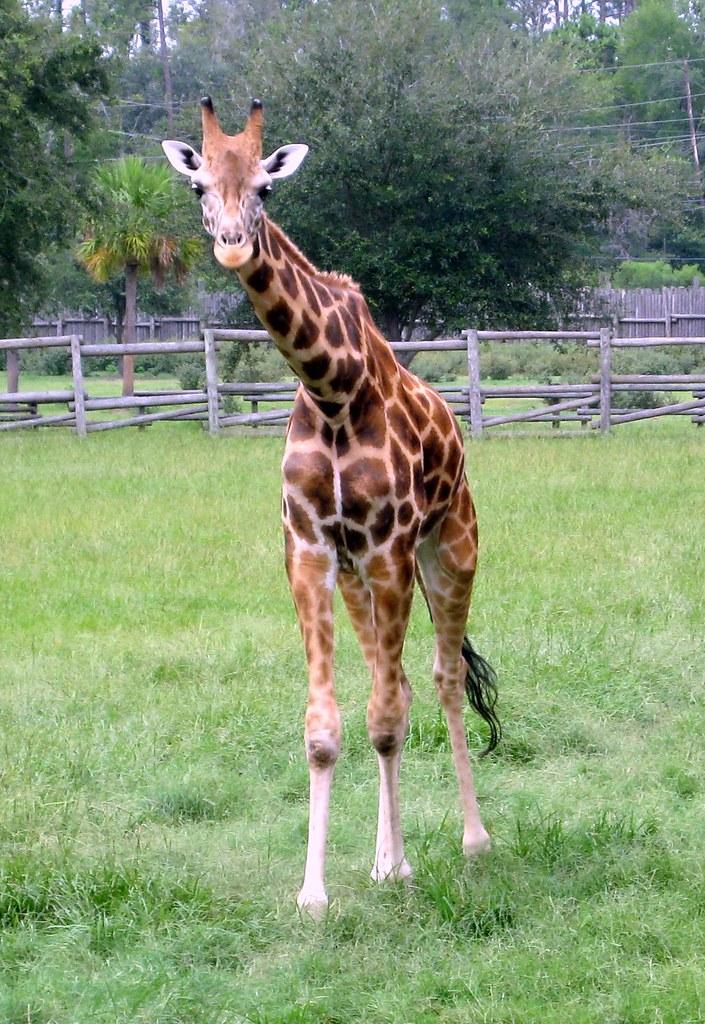 Valdosta Wild Adventures Animals Giraffe Jared