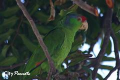 Red-crowned Amazon parrot (Amazona viridigenalis)