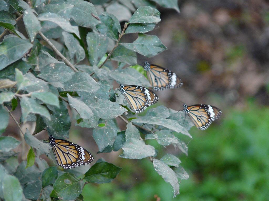 Danaus genutia (Striped Tiger) | Nymphalidae (brushfooted ...