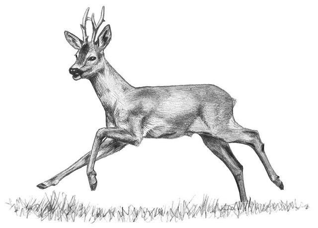 Roe Deer Ann Mead Flickr