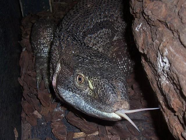 Augastina - White throated monitor lizard | Showing of ...