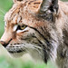Mother lynx again...