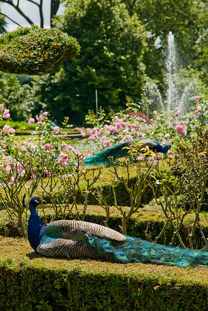 Peacock garden flickr photo sharing for Gardening 4 you warwick