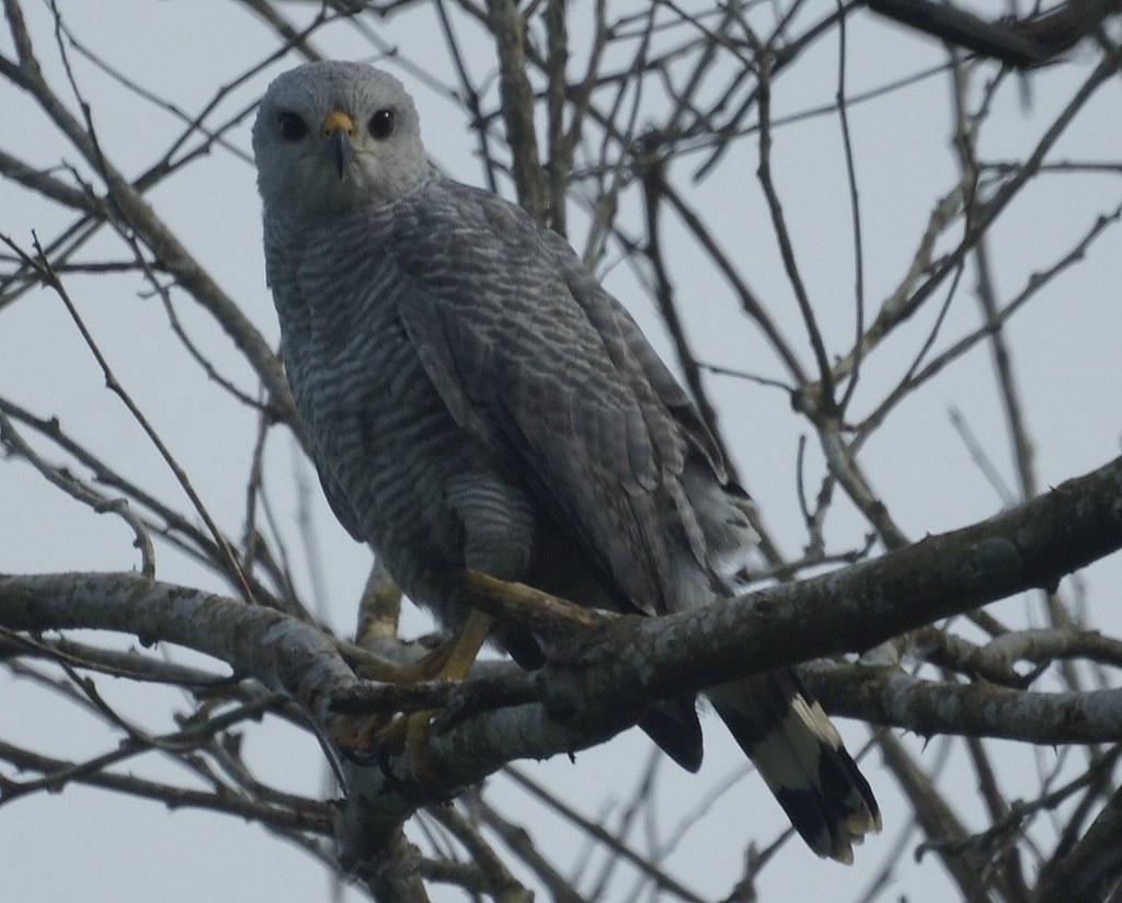 Gavil n gris gray hawk buteo nitidus nitidus lugar for Gray hawk