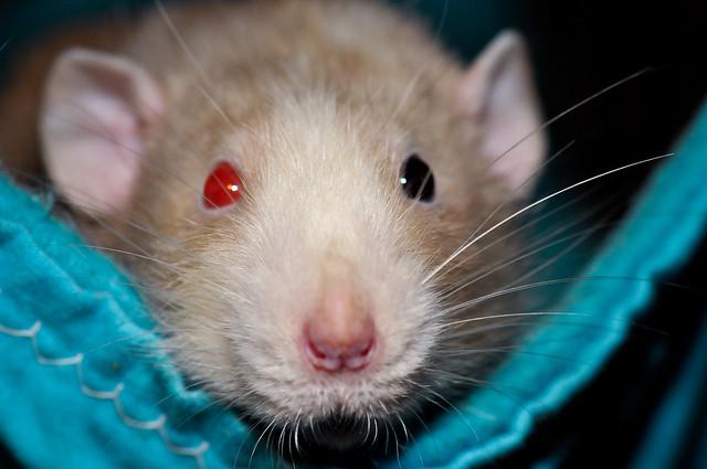 Разноглазая крыса, фото грызуны фотография картинка
