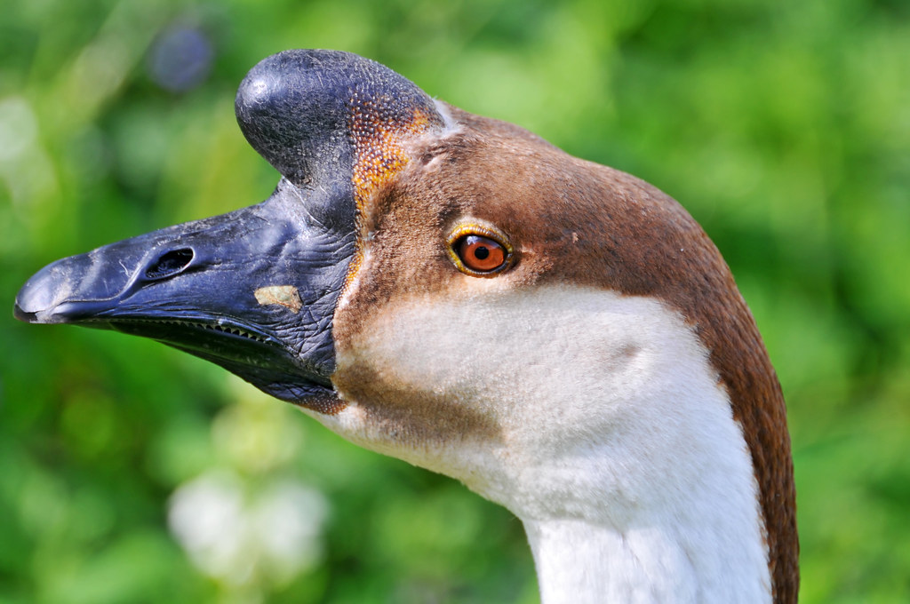 Portrait Of A Goose This Is A Rather Unusual Goose With