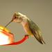 Female Rofus Hummingbird