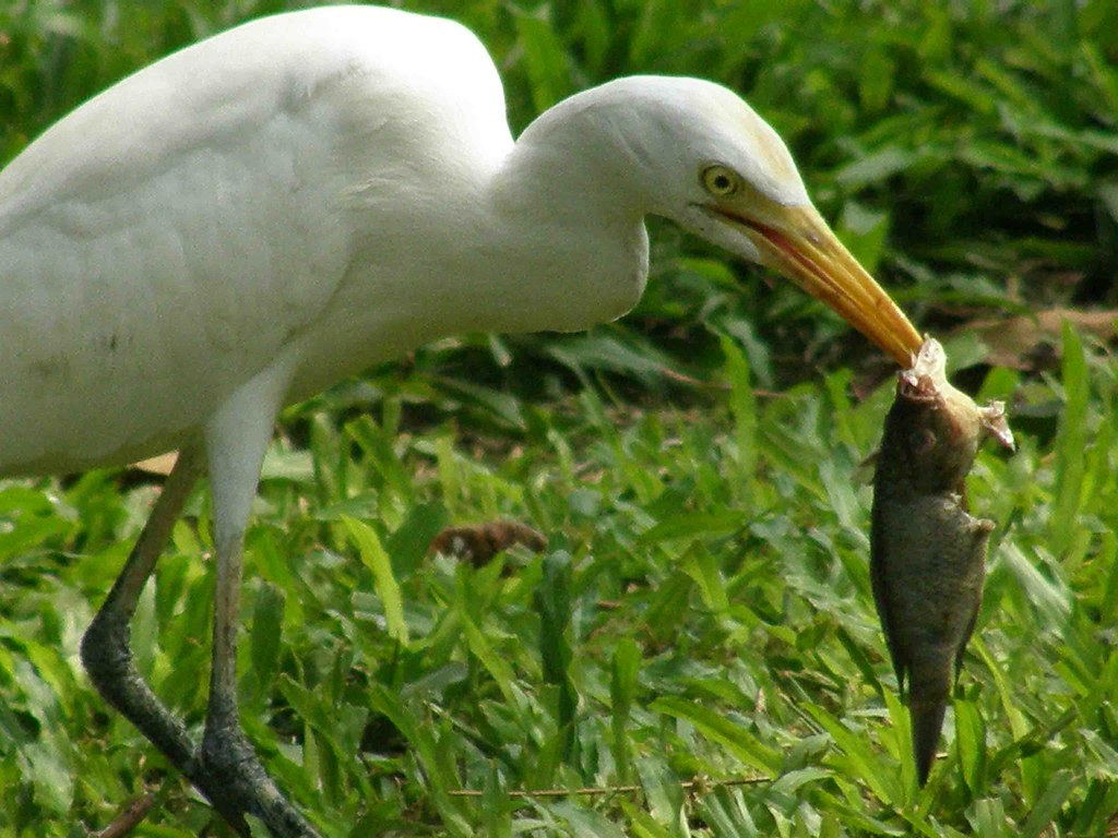 Cattle Egret Bubulcus Ibis Eating In The Wild Cattle