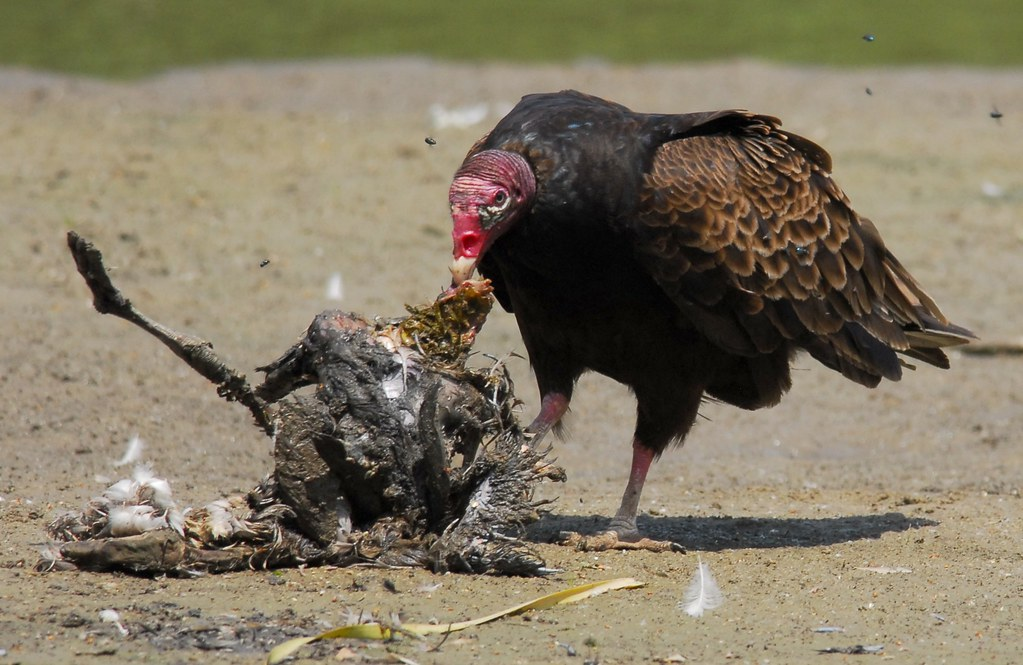 turkey vulture eating | Thankfully there was enough sun so