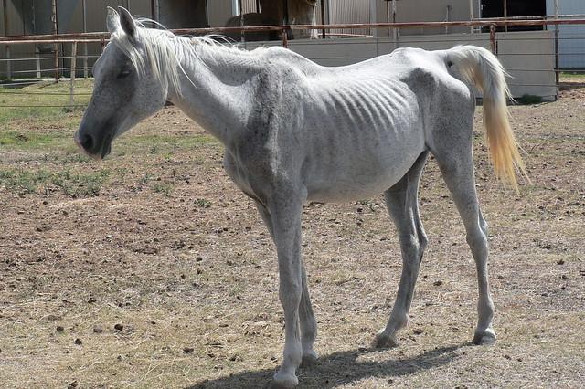 De plus en plus de chevaux victimes de négligence et de maltraitance.