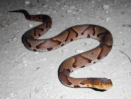 White Oak Gray Rat Snake Elaphe obsoleta spiloides