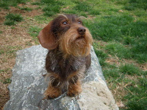 Grooming Wire Haired Dogs