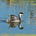 Western Grebe(Aechmophorus occidentalis)