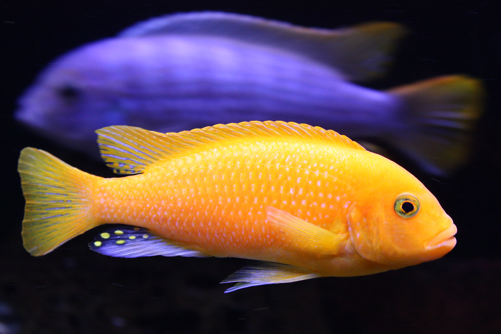 Metriaclima estherae red commonly known as the red for African cichlid fish