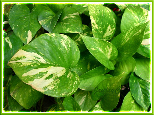 Our Potted Epipremnum Aureum 39 Golden Pothos 39 Flickr