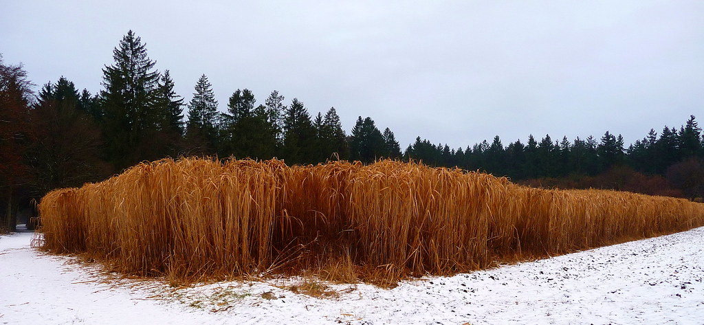 miscanthus giganteus riesen chinaschilf new snow in. Black Bedroom Furniture Sets. Home Design Ideas