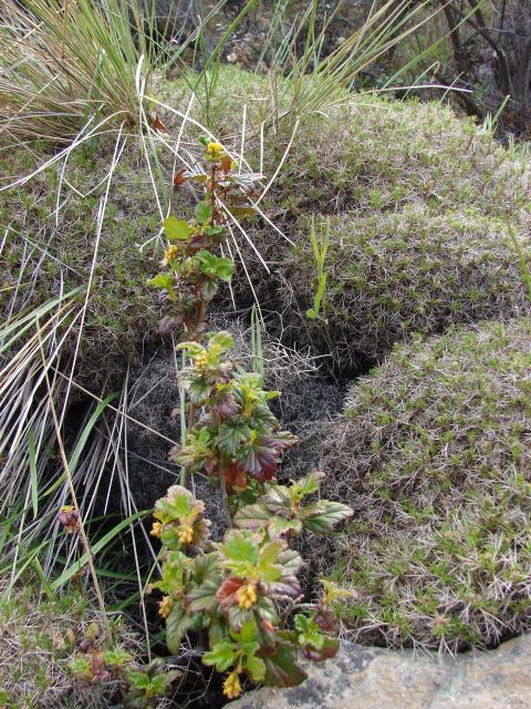 Apiaceae mulinum spinosum cav pers jard n bot nico for Jardin botanico vina