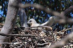 Young Eaglet In Nest, 1st September