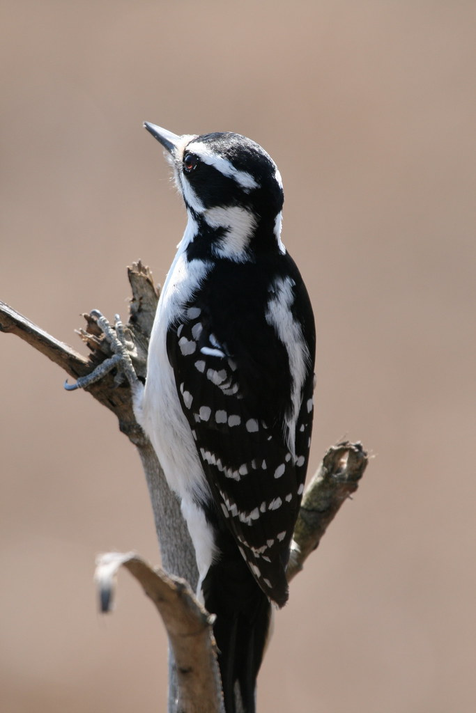Pileated Woodpecker Facts For Kids
