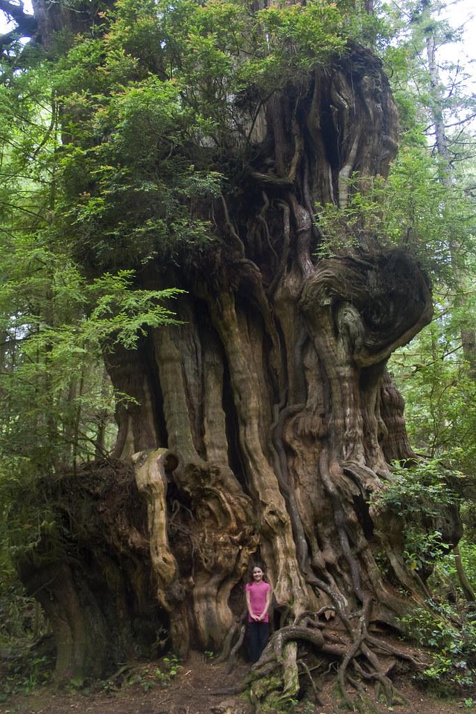 Big Cedar Tree Tiny Girl Olympic National Park This