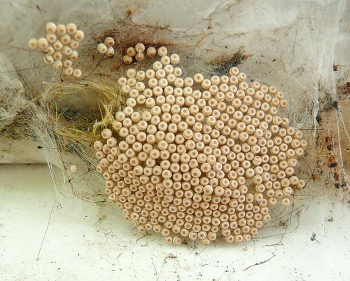 Spiders Eggs Flickr Photo Sharing