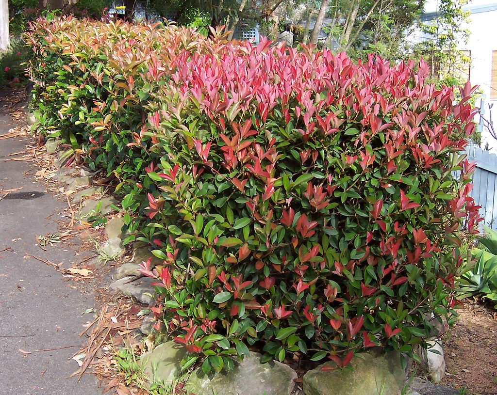 Lillipilli Hedge Spike S Woy Woy Blog With Pictures