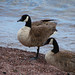 Canada Goose ensnared in monofilament fishing line