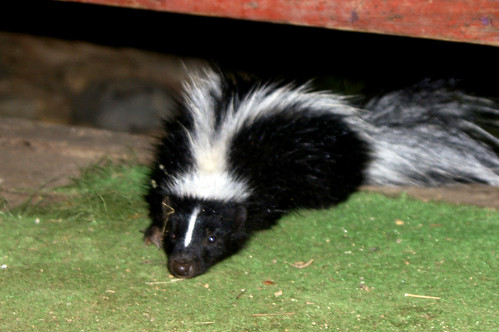 Wet Baby Skunk | by Out at Bob's