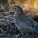 Female Blackbird - Turdus merula