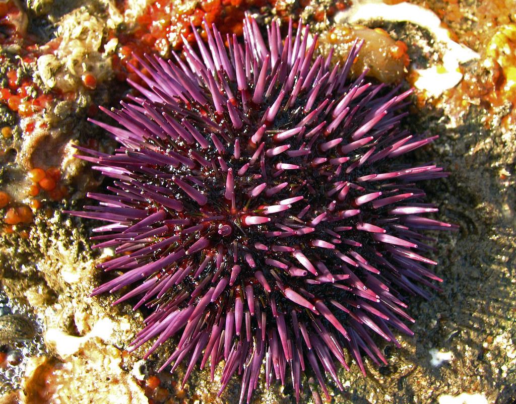 Purple Sea Urchin - Strongylocentrotus pupuratus | A nice ...