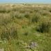 Mosaic vegetation with Juncus maritimus, Glaux maritima, Salicornia europaea ssp. brachystachya, Festuca rubra, Carex extensa & Limonium vulgare