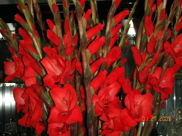 Hoa Hue Do C 226 Y Hoa Huệ đỏ để Chưng Tết Trong Nh 224 Nguội